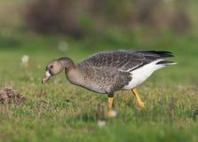 Kolgans, White-fronted Goose, Anser albifrons stock photography