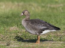 Kolgans, White-fronted Goose, Anser albifrons royalty free stock photography