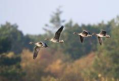 Kolgans, White-fronted Goose, Anser albifrons. Vliegende groep Kolganzen in vlucht; Flying group White-fronted Geese stock images