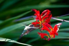 koliber ryży Obrazy Royalty Free