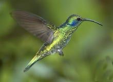 koliber zielony violet uszy Obrazy Stock