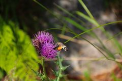 Kolibra jastrzębia imię: Macroglossum stellatarum zdjęcie royalty free