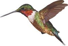 Kolibri över vit Royaltyfria Bilder