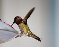 Kolibri Stockfotos