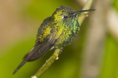 Kolibri Royalty Free Stock Image