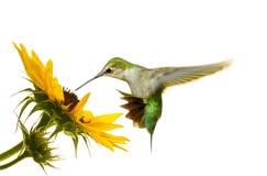 Kolibri. Stockfotografie
