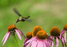 Kolibri stockfotografie