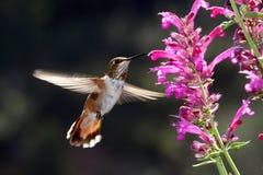Kolibri Lizenzfreie Stockbilder