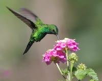 Kolibri Arkivbild