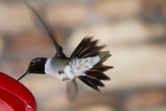 Kolibri Arkivbilder