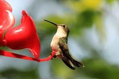 Kolibri Royaltyfri Fotografi