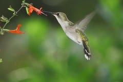 Kolibri  royaltyfri foto