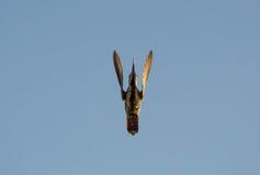 kolibri Stockbild