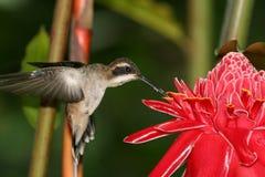 Kolibri 7 Lizenzfreie Stockfotos