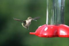 Kolibri-Anflug lizenzfreie stockfotos