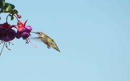 Kolibri auf Blume. Lizenzfreie Stockfotos