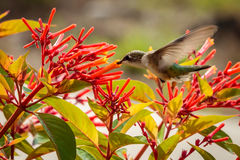 Kolibri auf einem Firebush Lizenzfreie Stockfotos