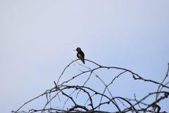Kolibri auf einem Zweig lizenzfreie stockfotos