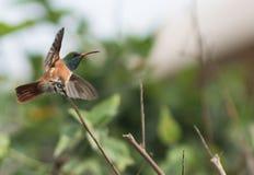 Kolibri auf einer Niederlassung, die Flug nimmt lizenzfreie stockbilder