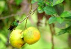 Kolibri auf einer Zufuhr lizenzfreie stockbilder