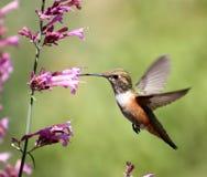 Kolibri auf pentstemon lizenzfreies stockbild
