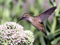 Kolibri auf sedum Stockfotografie