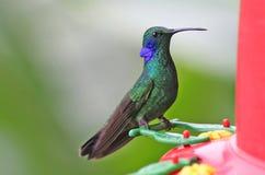 Kolibri auf Zufuhr Lizenzfreies Stockfoto