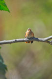 Kolibri auf Zweig Lizenzfreie Stockfotos
