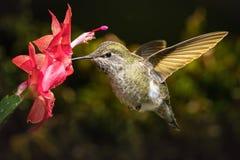 Kolibri besucht ihre rote Lieblingsblume Stockfotografie