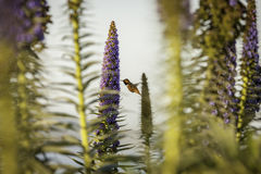Kolibri blisko Golden Gate Bridge Fotografia Stock