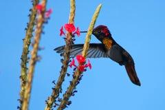 Kolibri Bonaire lizenzfreies stockbild