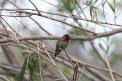 Kolibri Calypte anna för Anna ` s Fotografering för Bildbyråer