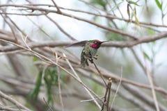 Kolibri Calypte anna för Anna ` s Royaltyfria Bilder