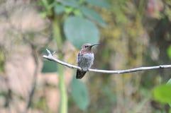 Kolibri Calypte anna för Anna ` s på en filial Royaltyfri Bild