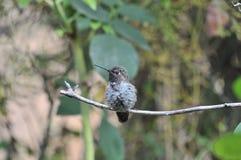 Kolibri Calypte anna för Anna ` s på en filial Arkivbilder