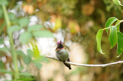 Kolibri Calypte anna för Anna ` s på en filial Royaltyfri Foto