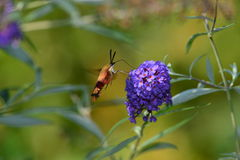 Kolibri Clearwing Motte Lizenzfreies Stockfoto