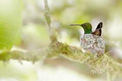 Kolibri, der auf den Eiern im Nest, Trinidad und Tobago sitzt Kupfer--rumpedkolibri, Amazilia-tobaci, auf dem Baum, wildlif lizenzfreie stockfotos