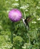 Kolibri, der auf Distelblüte speist Lizenzfreie Stockbilder
