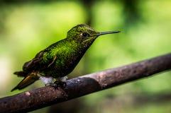 Kolibri, der auf einer Niederlassung sitzt lizenzfreies stockbild