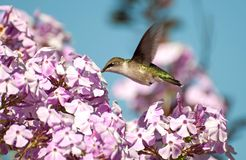 Kolibri in der Bewegung. lizenzfreies stockbild