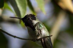 Kolibri der Costa Stockbilder