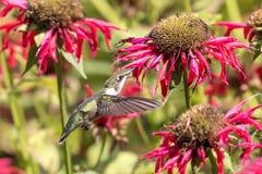 Kolibri, der den Bienenbalsam genießt Stockfotografie
