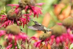 Kolibri, der den Bienenbalsam genießt Lizenzfreies Stockfoto