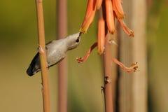 Kolibri, der an der Aloe Vera Flower einzieht Stockbilder