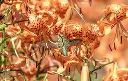 Kolibri, der eine schöne Blume genießt Lizenzfreie Stockbilder