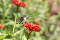 Kolibri, der eine schöne Blume genießt Stockfotografie
