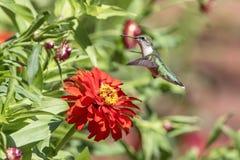 Kolibri, der eine schöne Blume genießt Lizenzfreie Stockfotografie
