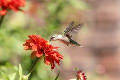 Kolibri, der eine schöne Blume genießt Lizenzfreie Stockfotos