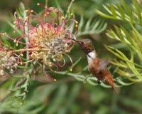 Kolibri, der an einer Blume einzieht Stockfotografie